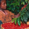 Handpicking coffeelr
